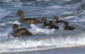 Common Eiders with brood © Mike Pennington