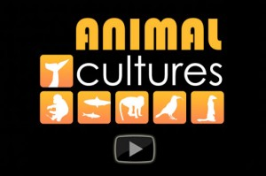 animal-cultures-video-poster